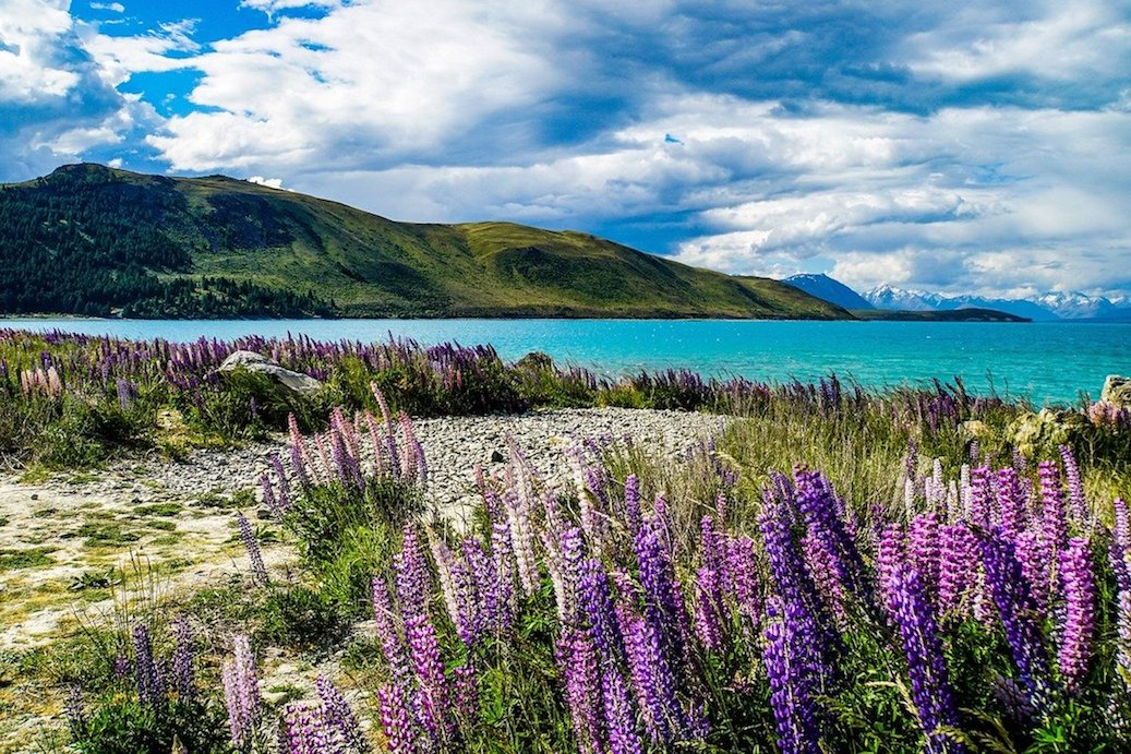 A lake in New Zealand with mountains in the background and purple flowers in the front
